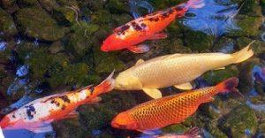 Hariyono Menikmati Jual Ikan Koi