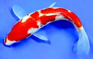 Kegamangan Dalam Jual Ikan Koi