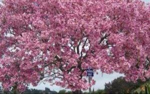 Beralih Jadi Jual Bibit dan Pohon Tabebuya