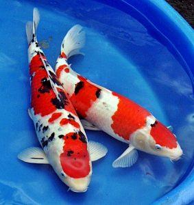 Berkah Jual Ikan Koi Di Taman