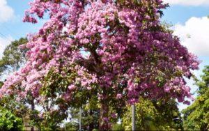 Jual Bibit Tabebuya Pink