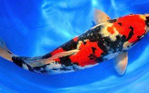 Nama Latin Dari Ikan Koi