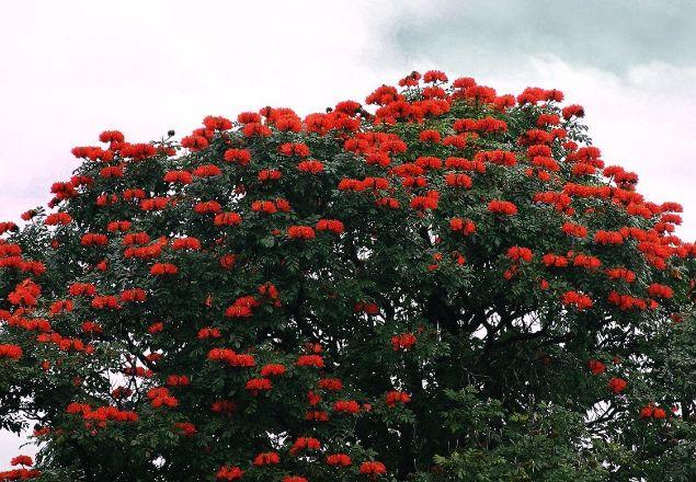 Pemilik Jual Bibit dan Pohon Spathodea