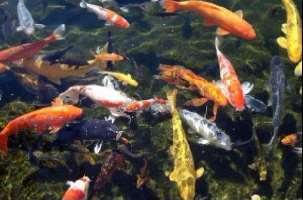 Perbedaan Cat Anti Air Dan Biasa Kolam Jual Ikan Koi
