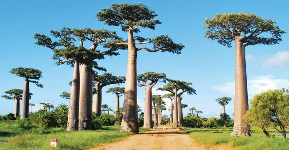 Bibit Pohon Baobab Harga Grosir Murah