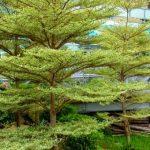 Budidaya Pohon Ketapang Kencana DiIndonesia