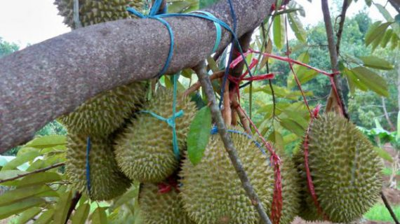 Grosir Durian Sitokong Harga Murah