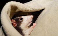 Cara Mengusir Tikus dengan Bahan Alami