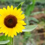 Jenis Bunga yang Mudah Ditanam dan Berbunga Cantik